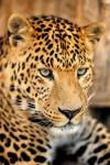 Фотообои Леопард Р-018 Артистайл
