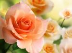 Фотообои Розы 2 А2-056 Divino