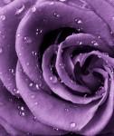 Фотообои Роза фиолетовая А2-038 Divino